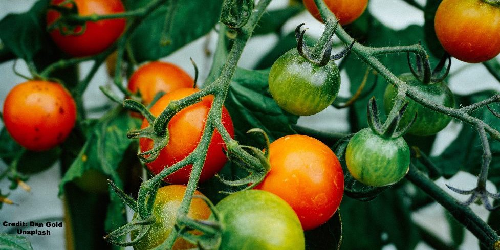 How to ripen and store your homegrown tomatoes