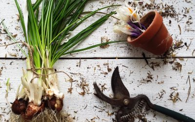 Forcing Spring Bulbs to Bloom